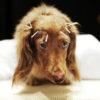 agopuntura-cani