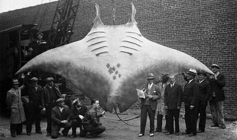 pesci gigante, manta