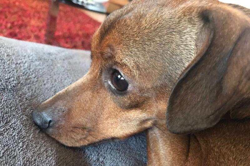 primo piano cane marrone orecchie basse