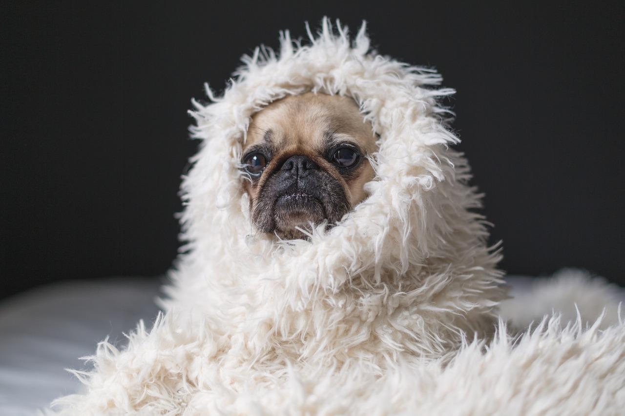 carlino con coperta bianca