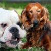 Bulldog e cocker