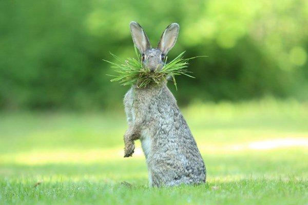 coniglio con baffi di erba
