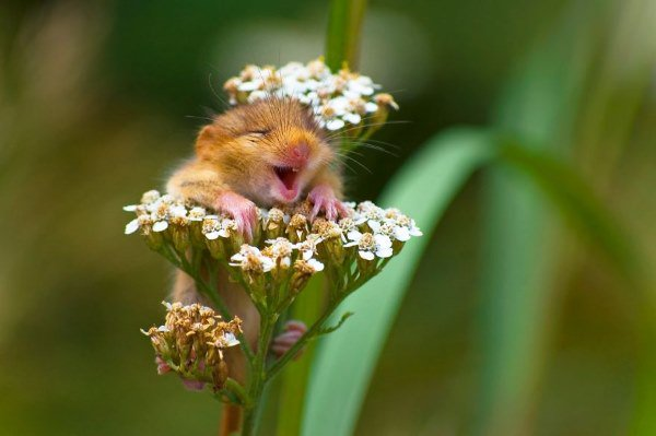 ghiro che sorride