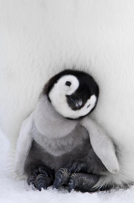 pinguino cucciolo