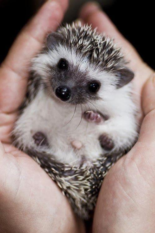 piccolo riccio
