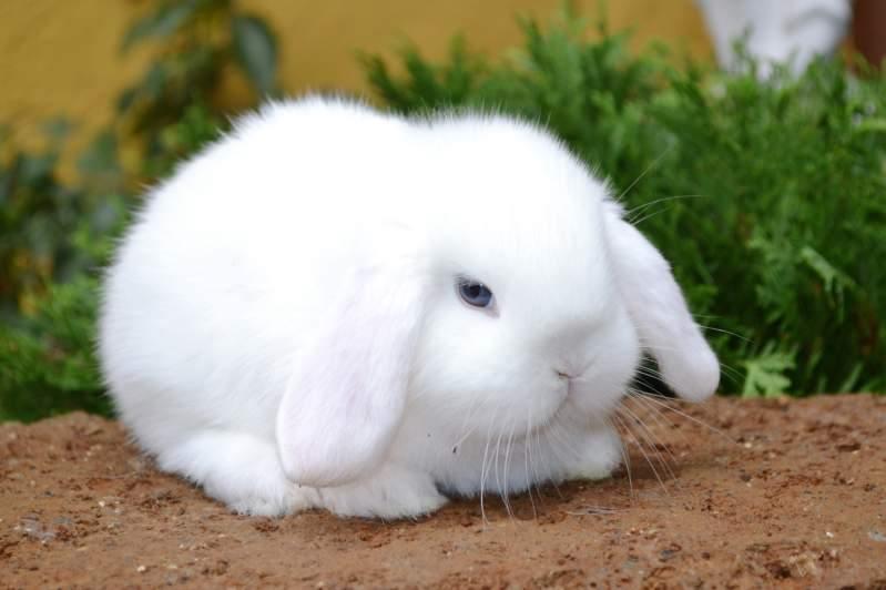 Conigli nani quale razza scegliere guida alle variet e - Lettiera coniglio nano ...