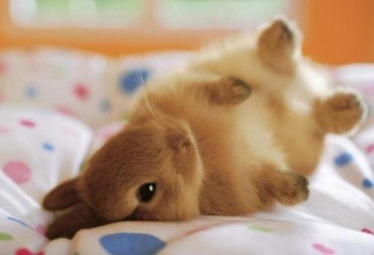 coniglio nano marrone