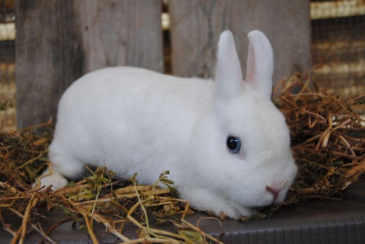 coniglietto bianco occhi blu
