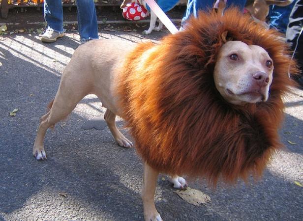 cane vestito da leone
