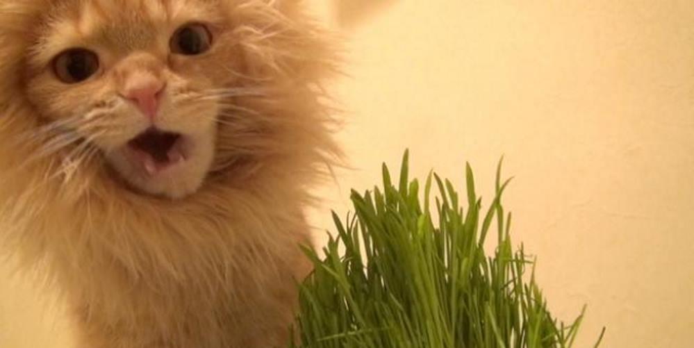 gatto con criniera da leone