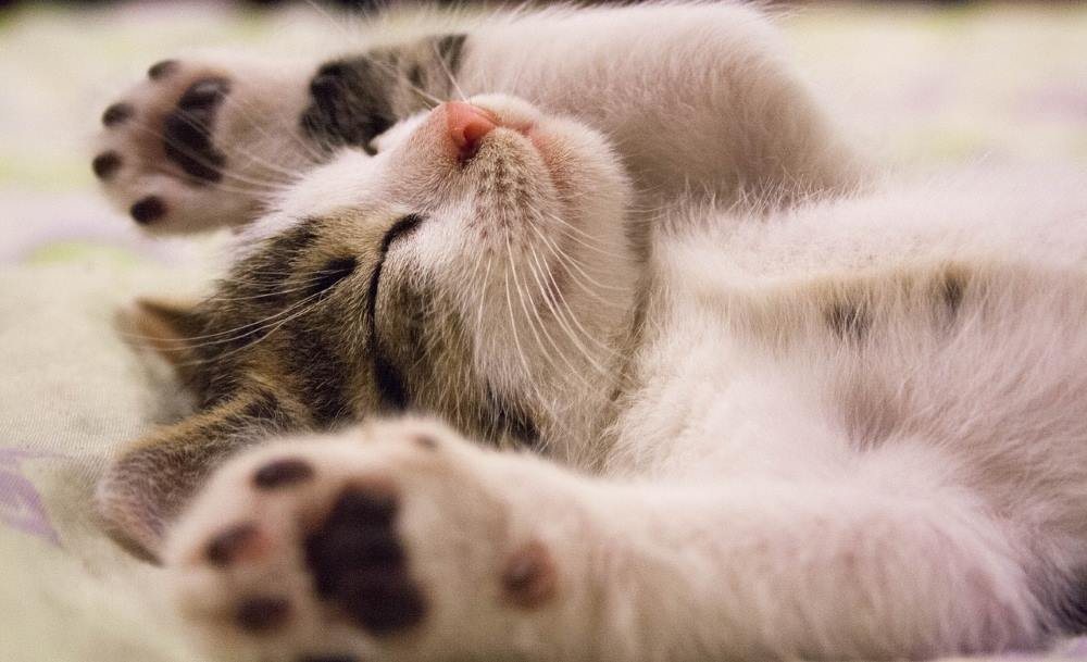 gattino bianco e tigrato