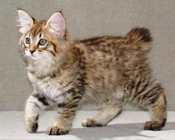 gattino a coda corta