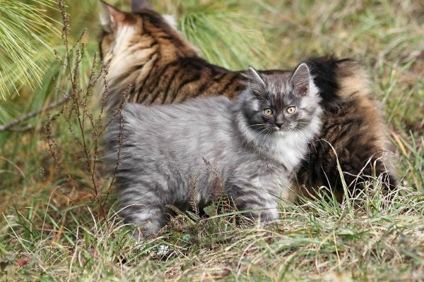 gatta e gattino a pelo lungo