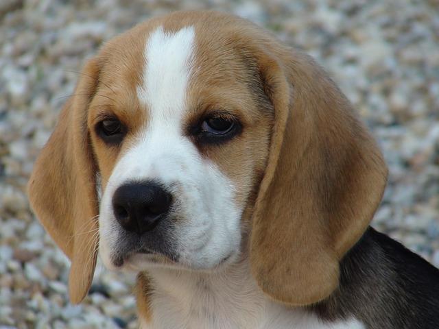 cane beagle orecchie pendenti