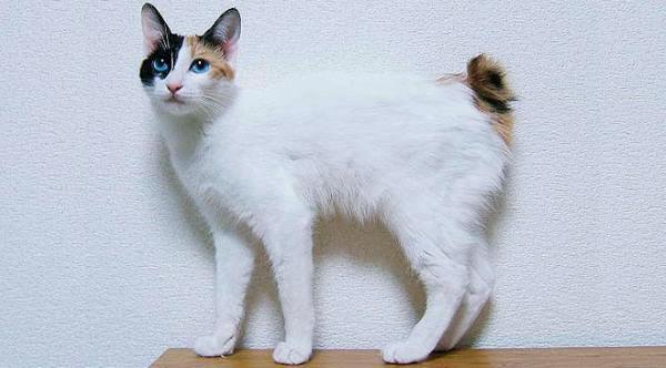 gatto bobtail a pelo corto