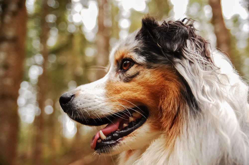cane a pelo lungo