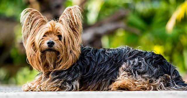 cane yorkshire pelo lungo