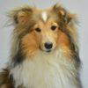 Shetland Sheepdog tricolore