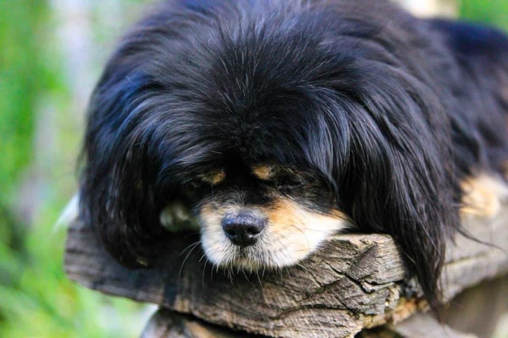 cane pelo lungo nero