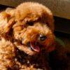 cucciolo di Barboncino marrone