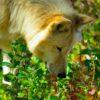 sensi del cane: cane fiuta tracce
