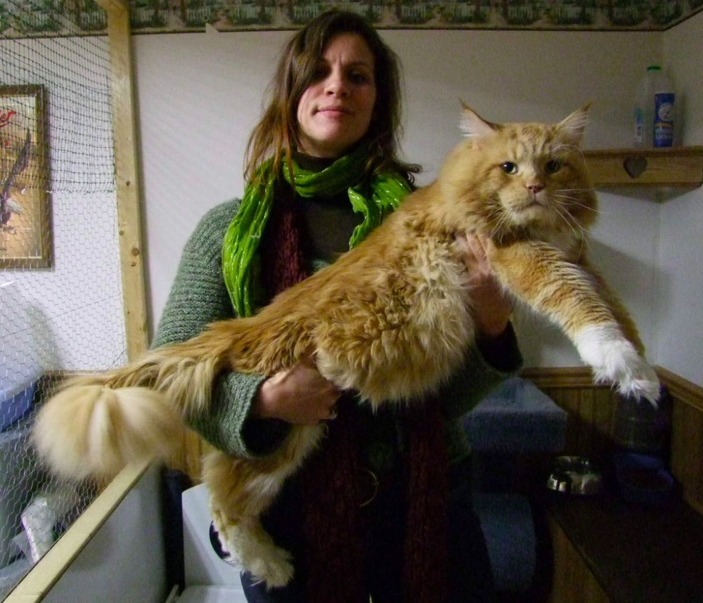Gatto Maine Coon Red Tabby White
