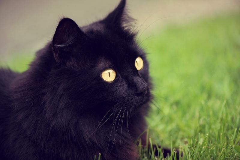 gatto d'Angora nero