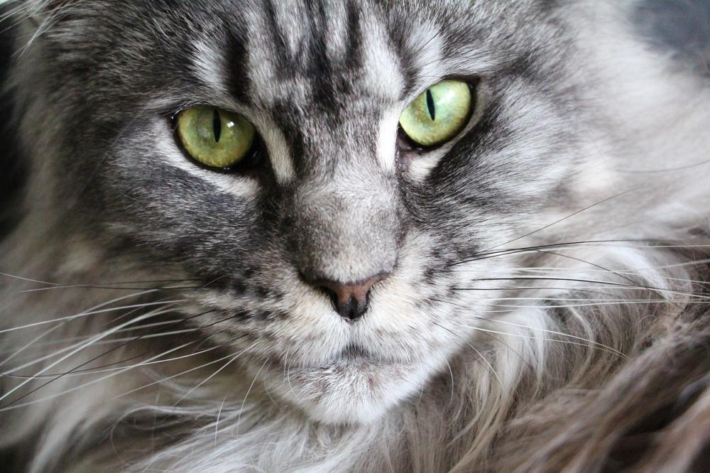Gatto Maine Coon grigio occhi verdi