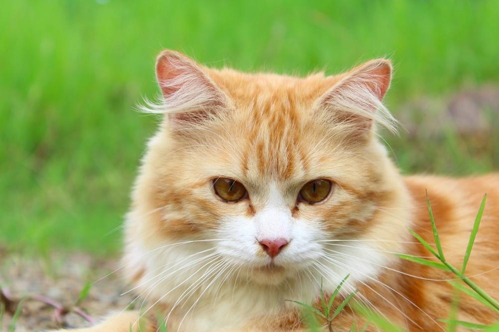 HCM nel gatto: gatto persiano