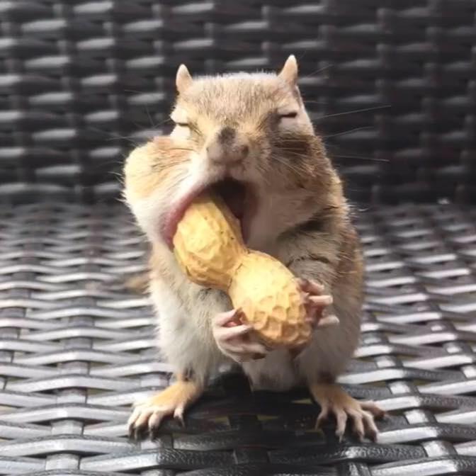 scoiattolo van Gogh mangia arachide