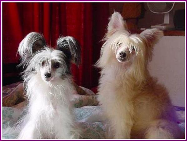 Chinese Dog a pelo lungo.