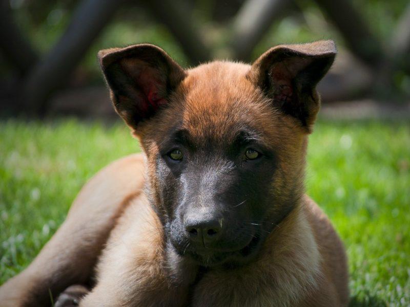 Cane pastore Belga Malinois cucciolo