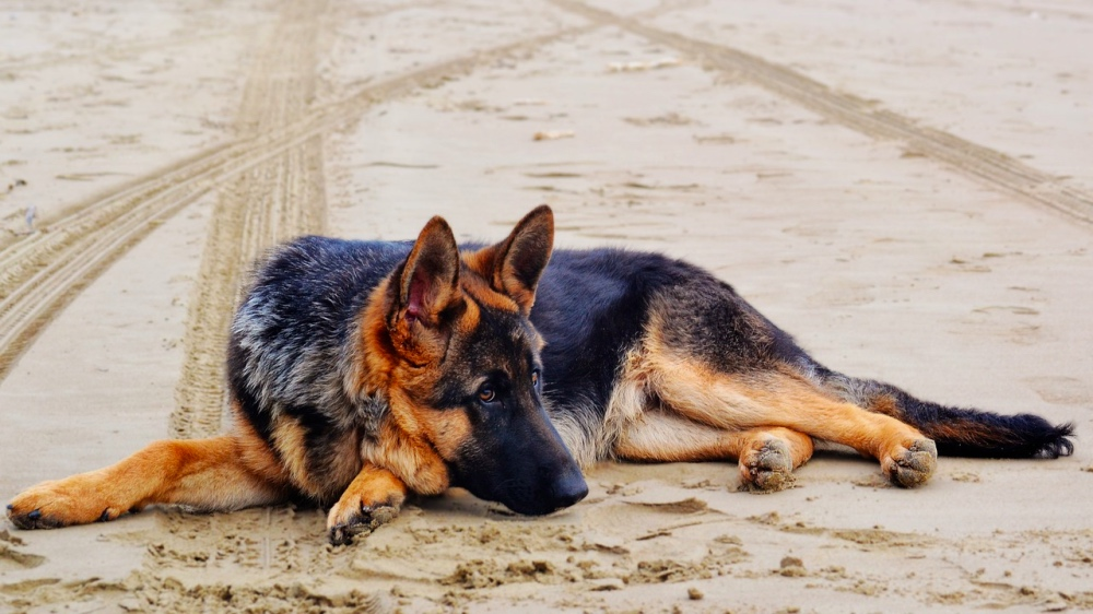 Displasia dell'anca nel cane.