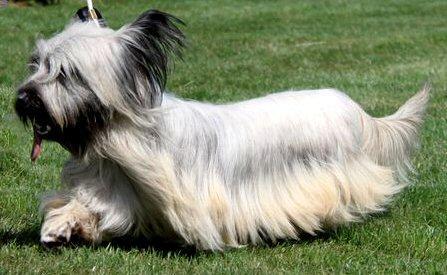 Skye Terrier a pelo lungo.