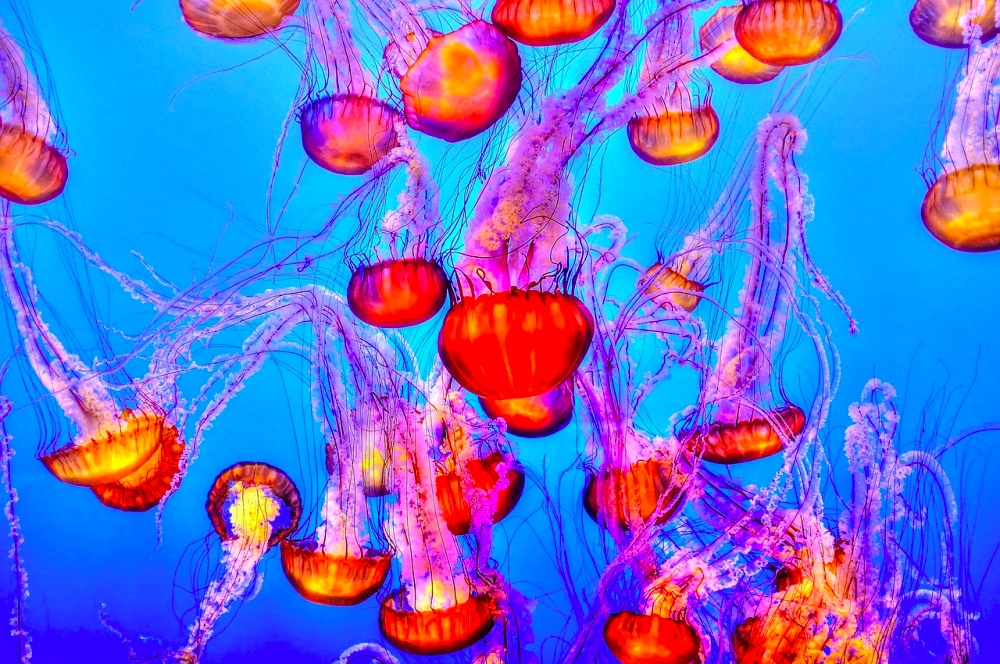 Animali velenosi: aumentano le meduse.
