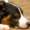 Avvelenamento da funghi nel cane