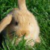 Coniglio ariete nano: alimentazione e cure.