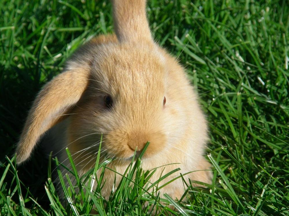 coniglio ariete nano: alimentazione, cura, habitat e consigli.