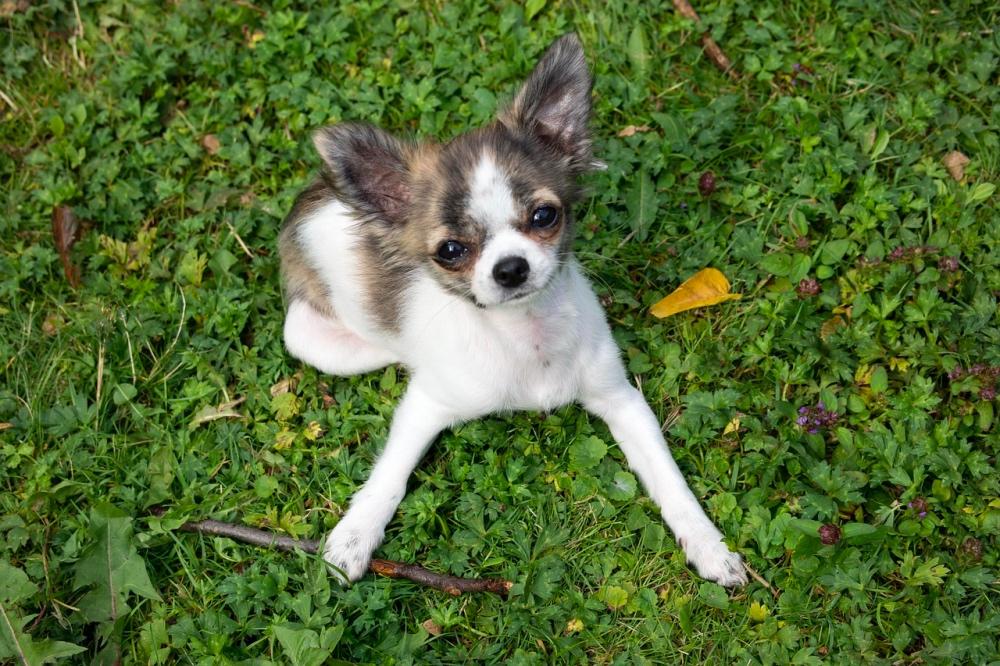 razze canine più longeve.