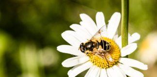 ape impollina margherita