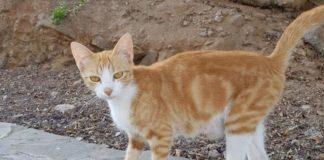 gatto rosso isole Canarie