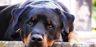 Cane Rottweiler accucciato