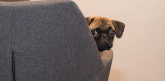 carlino nascosto sul divano