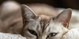 gatto siamese con coperta