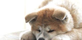cucciolo di cane peloso