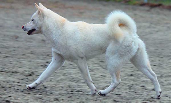 Cani giapponesi: Kishu Inu bianco