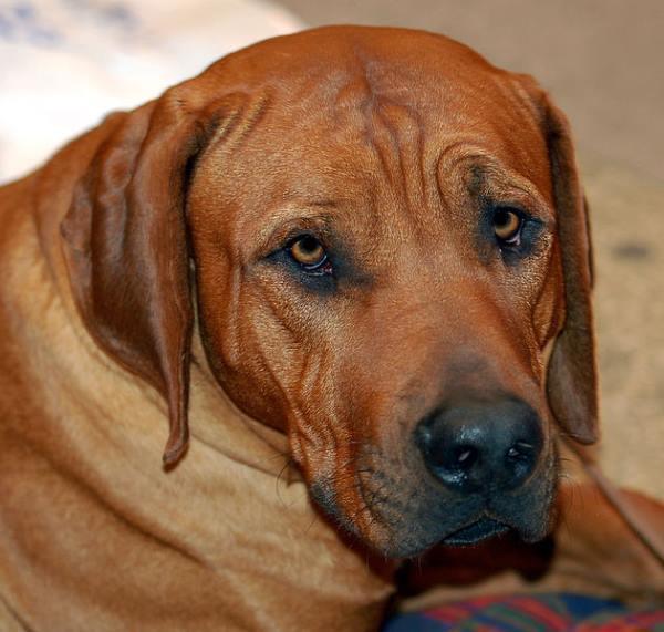 Cani giapponesi: Tosa rossiccio