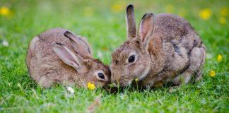 coppia di conigli in giardino
