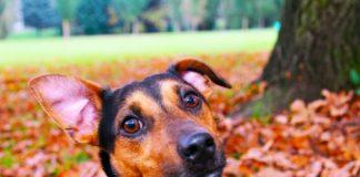 udito dei cani: cane che ascolta