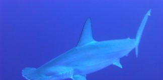 Il primo squalo onnivoro: lo squalo Bonnethead.